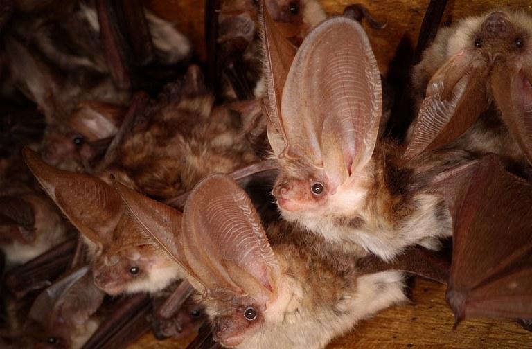 Bat-Databse ElisaBAt